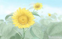 梦见菊花是什么意思啊 有什么含义