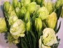 洋桔梗花的花语大全之感动