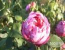 千叶玫瑰花语大全之无限幸福