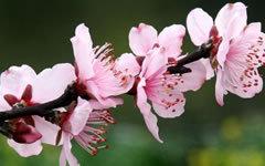 招桃花的风水植物有哪些